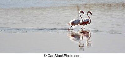 Lesser Flamingos... - Close up of lesser Flamingos in the...