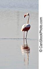 Lesser Flamingo...