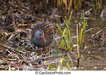 Water Rail (Rallus aquaticus) foraging in reedbed - Water...
