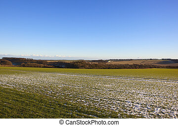 yorkshire wolds wheat field - a young green wheat crop with...