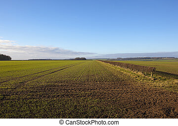 young wheat and hedgerow - a young wheat crop beside a...