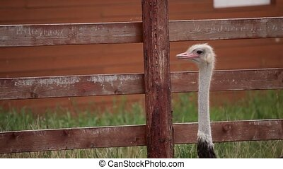 Ostrich farm. Ostrich walks on a farm. - Ostrich farm....