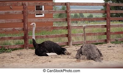 Two Ostriches in pen. Big beautiful birds
