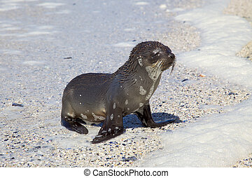 Cape Fur Seal - A young Cape Fur Seal Arctocephalus pusillus...