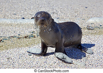 Cape Fur Seal - A young Cape Fur Seal (Arctocephalus...
