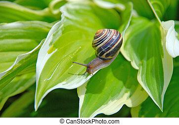 snail on Hosta - small snail climbing on a Hosta leaf