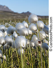 flower of the cotton grass Arctic - Arctic cotton grass...