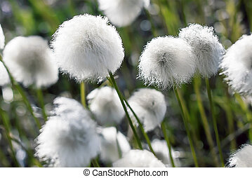 Arctic cottongrass - Arctic cotton grass flowers in the...