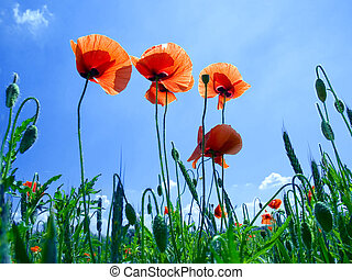 Red poppy flowers - Red poppy flowers on blue sky background...