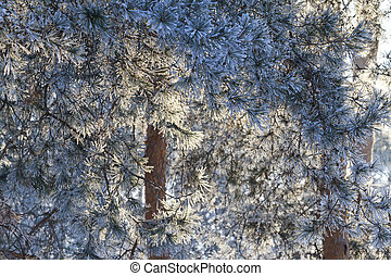 needles of pine trees in the morning sun lit frost,winter,...