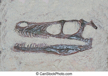 Fossil head of a velociraptor dinosaur with sharp theeth -...