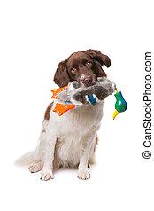 Dutch partrige dog, Drentse patrijs hond, in front of a...