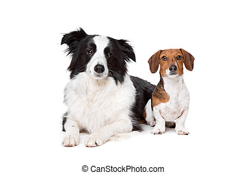 border collie and a dachshund piebald in front of a white...
