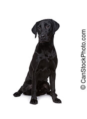 mixed breed dog,mix labrador, in front of a white background