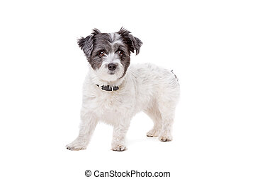 small white and grey haired dog in front of a white...