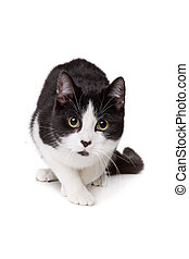 black and white short haired cat in front of a white...