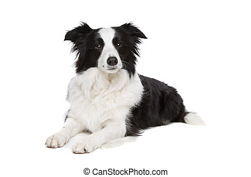 black and white border collie dog in front of a white...