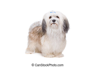 long haired Shih Tzu - Shih tzu dog in front of a white...