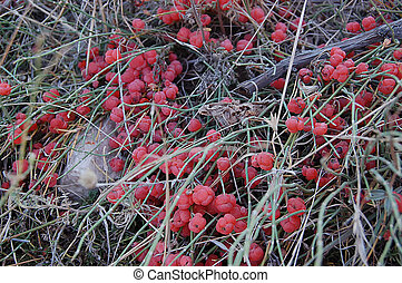 Ephedra distachya on gray grass - The Red Ephedra distachya...