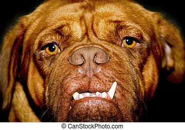 Dog face - Face of a dog with long teeth