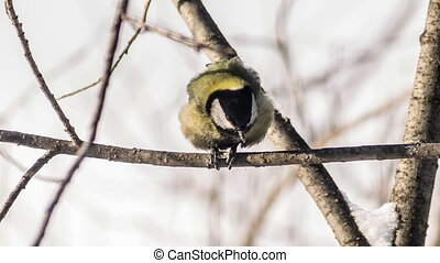 Great Tit (Parus major) on tree seed pecks