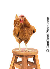 close up brow chicken standing on wood desk isolated white...