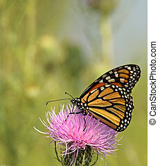 Monarch Butterfly, Danaus plexippus - Monarch butterfly,...
