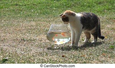 Curious cute cat try to catch rudd fish through aquarium...