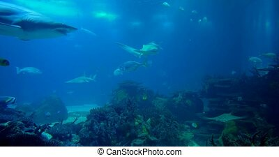 Amazing, Huge Sandtiger Shark, Surrounded By Golden Jacks -...