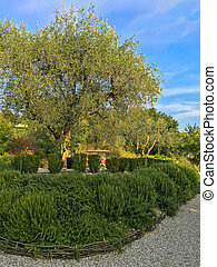 Home grown Rosemary herb near Olive tree during Autumn in...