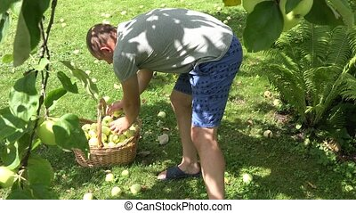 man gather ripe apple in wicker basket in orchard at summer....