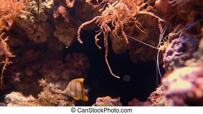 Copperband Butterflyfish And Fire Shrimp - Chelmon rostratus...