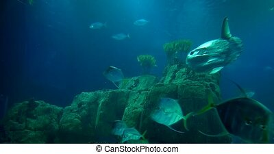 Lookdowns And A Sunfish Around A Reef - Mola mola, Selene...