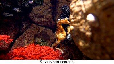 Pot Bellied Seahorse - Hippocampus Abdominalis