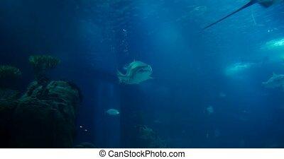 Amazing, Huge Sandtiger Shark - Carcharias Taurus,...