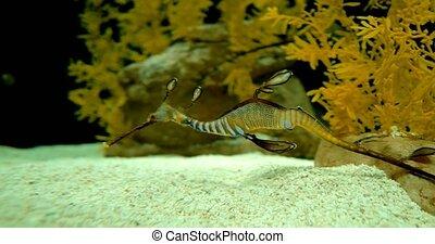 Common Seadragon - Phyllopteryx Taeniolatus