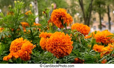 Orange flowers in green grass. Unrecognized Woman with...