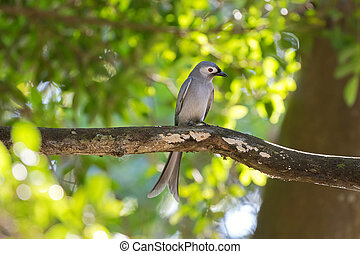 Ashy Drongo gray bird perching on tree branch in forest,...