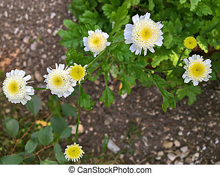 Feverfew plant with white yellow flowers during summer in...