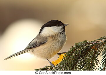 willow tit on fir twig - willow tit perched on fir twig (...