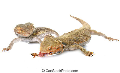 bearded dragons in studio - bearded dragons in front of...