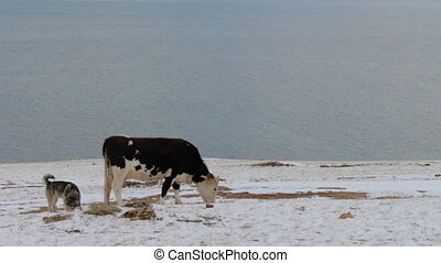 Dogs bark at a cow that graze and eat grass in winter - Cow...