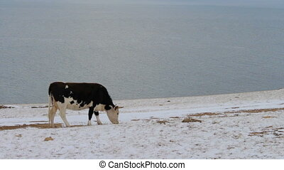 Cow eating dry grass on the shore of Lake Baikal in winter