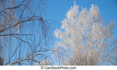 Trees covered with snow. - Trees covered with snow and...