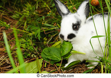 Eating Rabbit - A rabbit eating a leaf