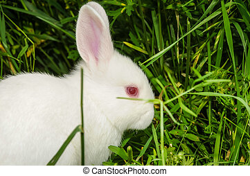 White Rabbit - A white rabbit sitting in the grass