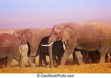 Group of African elephants walking in Maasai Mara - Big...