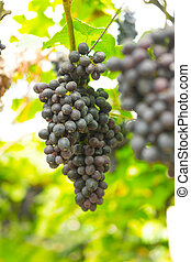 Close-up of large bunches of red wine grapes on the vine...