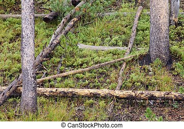 Yellowstone National Park - Forest in Yellowstone National...