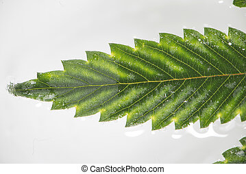 Cannabis leaf with visible veins and partially underwater...